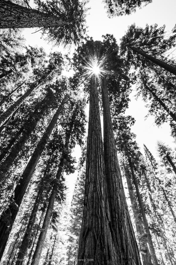 Twin Giant Sequoias (Sequoiadendron giganteum) Rise Over 200' Ab