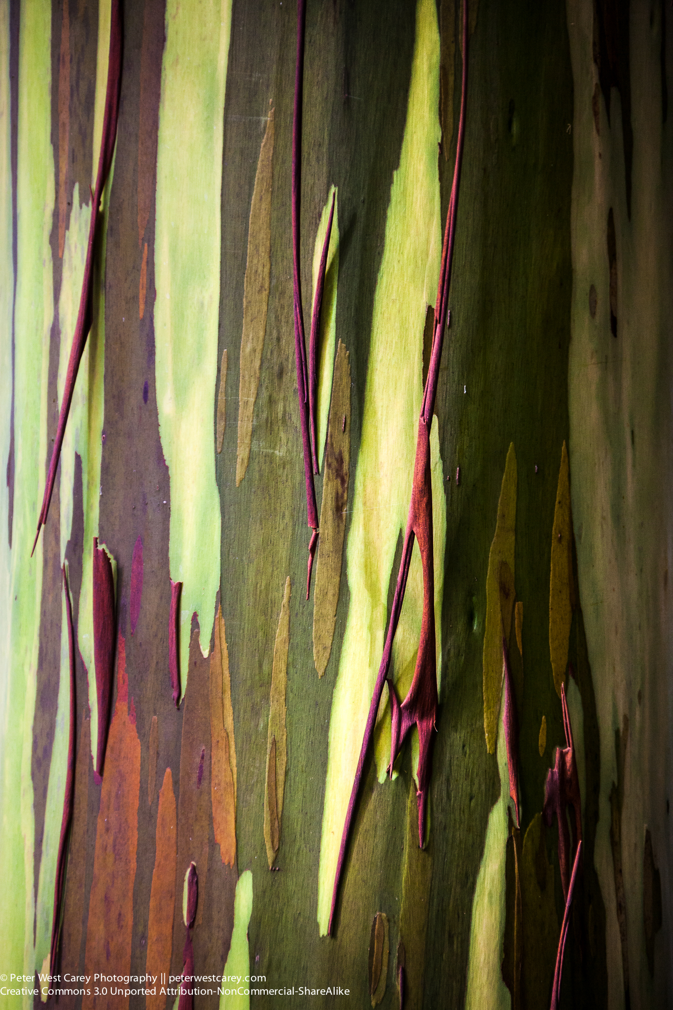 Rainbow Eucalyptus (Eucalyptus deglupta) Tree Bark, Hawaii, USA