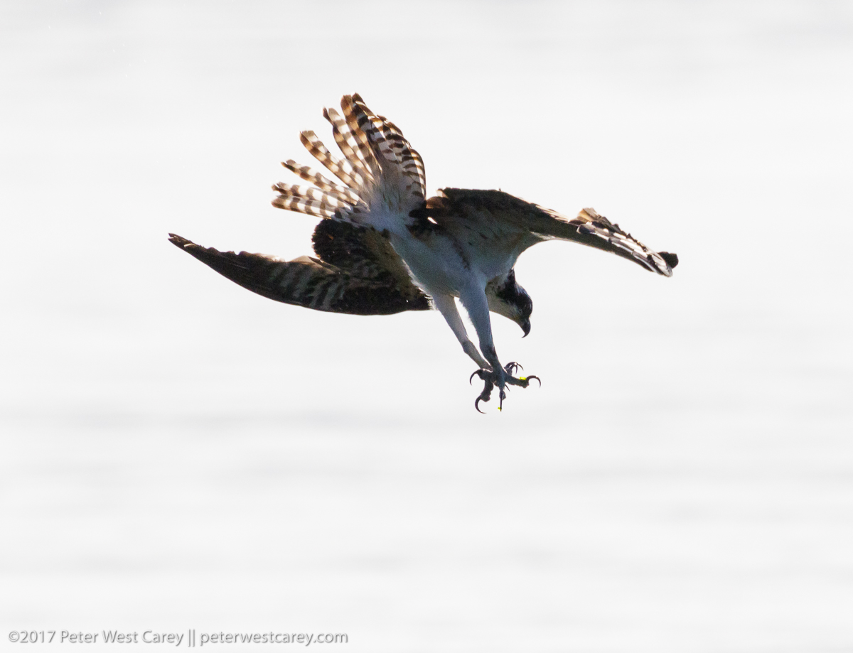 Photo of the day osprey fishing puget sound the carey for Opening day fishing 2017 washington
